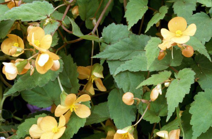 Begonia Perennial