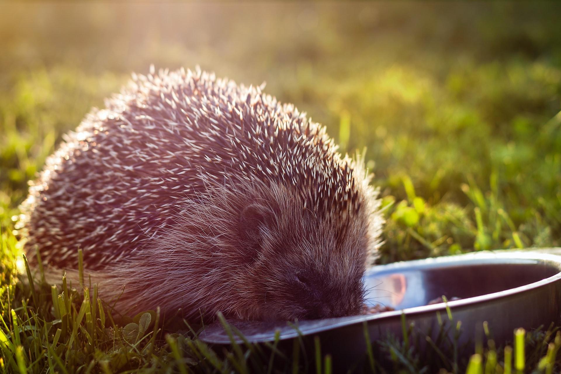 hedgehog eating from bowl
