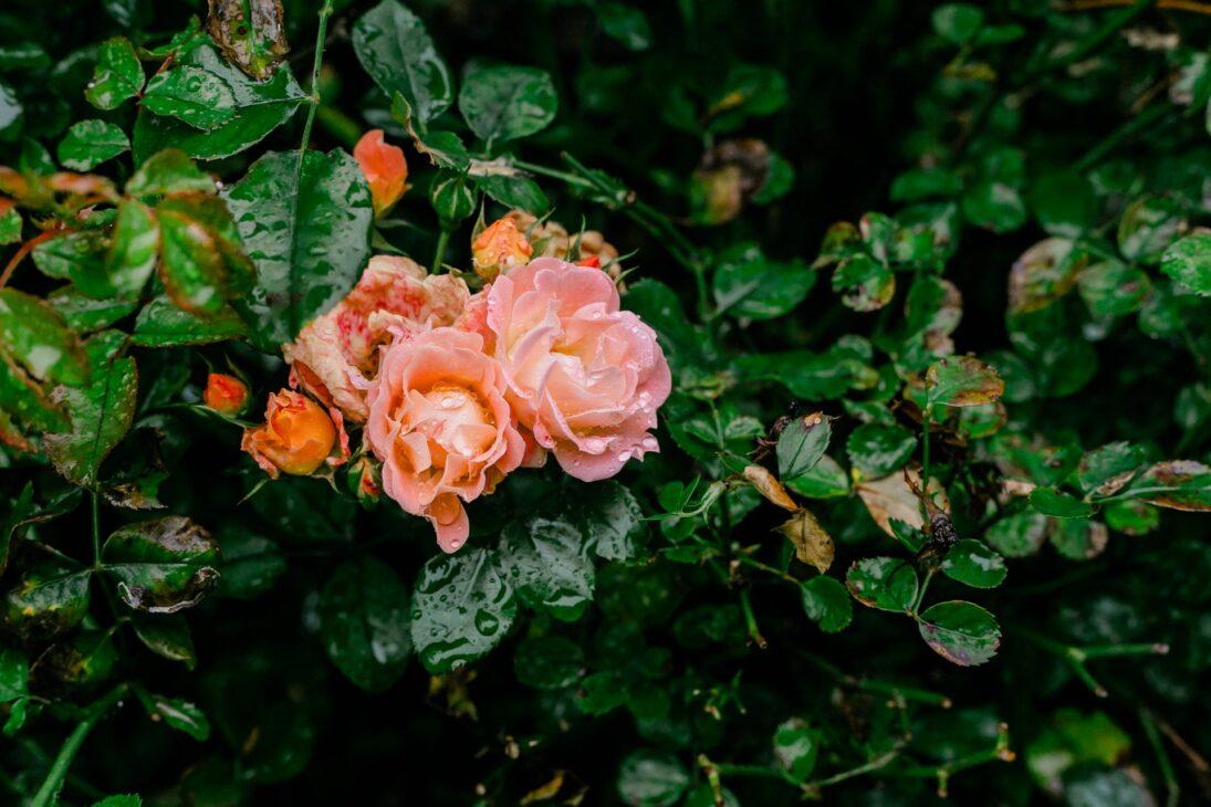 piinky orange rose flowers