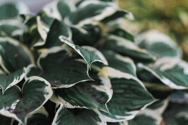 close up of hosta leaves