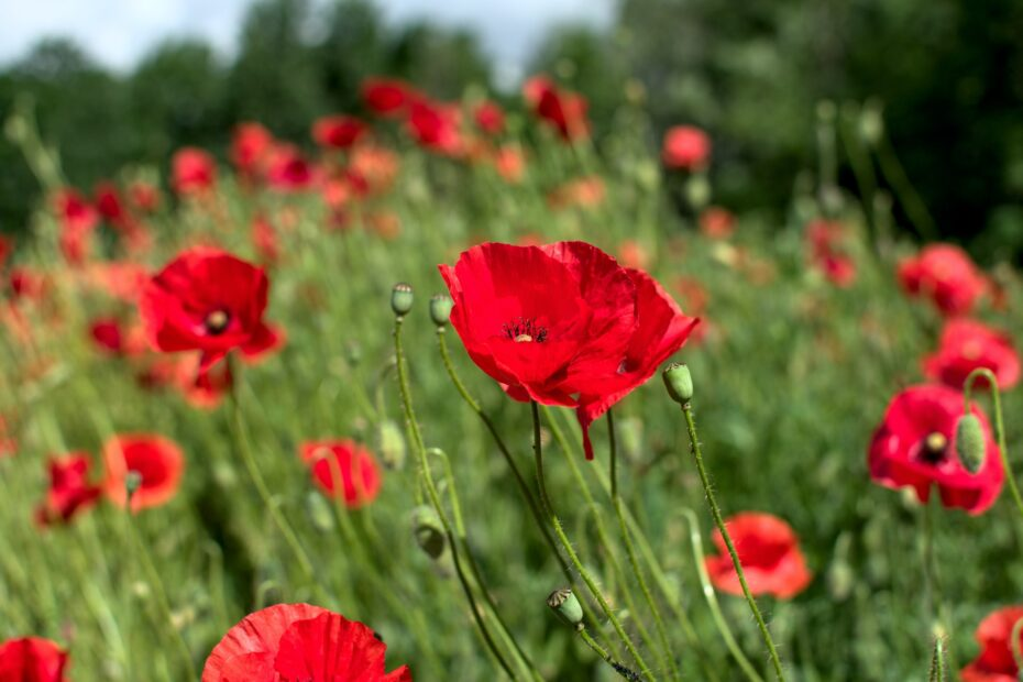 filed of red poppies
